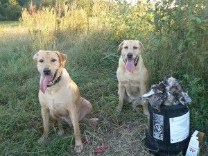 Dove hunting and dogs